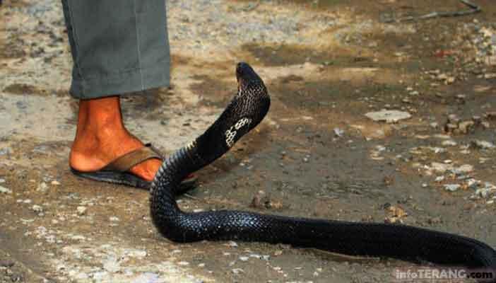 Bantuan jika ada yang digigit ular