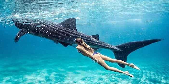 Berenang bersama ikan hiu