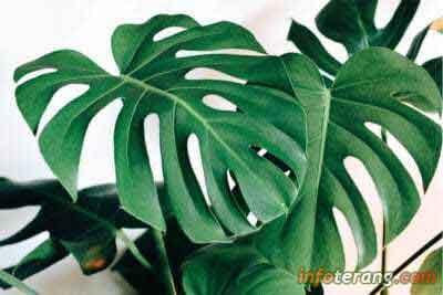 Harga daun janda bolong - Jenis tanaman Monstera Deliciosa