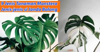 Jenis tanaman Monstera si Janda Bolong